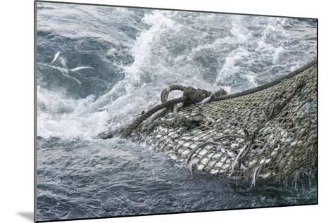 Dragger Net Full of Haddock (Melanogrammus Aeglefinus)-Jeff Rotman-Mounted Photographic Print