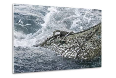 Dragger Net Full of Haddock (Melanogrammus Aeglefinus)-Jeff Rotman-Metal Print