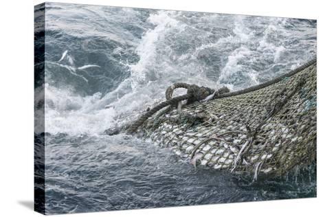 Dragger Net Full of Haddock (Melanogrammus Aeglefinus)-Jeff Rotman-Stretched Canvas Print