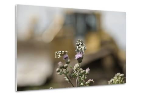 Marbled White Butterflies (Melanargia Galathea) Resting on Thistle-Terry Whittaker-Metal Print