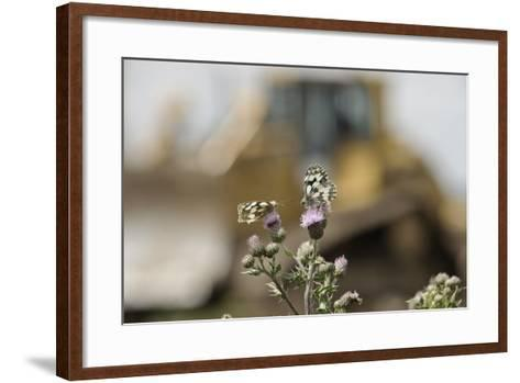 Marbled White Butterflies (Melanargia Galathea) Resting on Thistle-Terry Whittaker-Framed Art Print