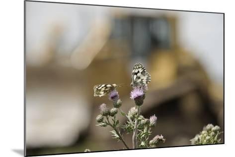 Marbled White Butterflies (Melanargia Galathea) Resting on Thistle-Terry Whittaker-Mounted Photographic Print