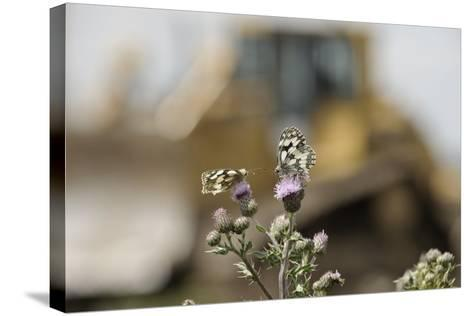Marbled White Butterflies (Melanargia Galathea) Resting on Thistle-Terry Whittaker-Stretched Canvas Print