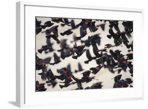 Red-Winged Blackbirds (Agelaius Phoeniceus) in Flight-Gerrit Vyn-Framed Art Print