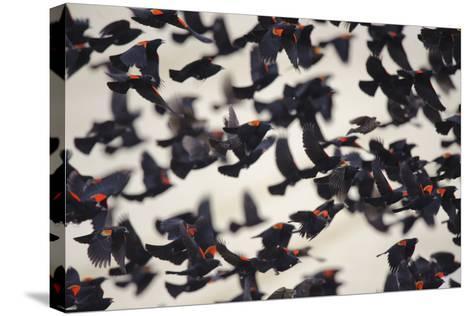 Red-Winged Blackbirds (Agelaius Phoeniceus) in Flight-Gerrit Vyn-Stretched Canvas Print