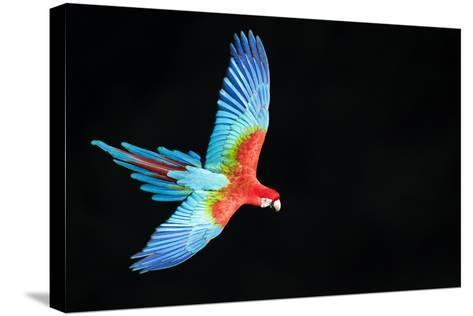 Red-And-Green Macaw (Ara Chloropterus) in Flight, Pantanal, Brazil. August-Wim van den Heever-Stretched Canvas Print