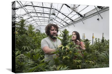 Man and Woman with Cannabis Plant in Organic Marijuana Farm, Pueblo, Colorado, USA, June 2015-Jeff Rotman-Stretched Canvas Print