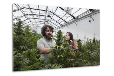 Man and Woman with Cannabis Plant in Organic Marijuana Farm, Pueblo, Colorado, USA, June 2015-Jeff Rotman-Metal Print