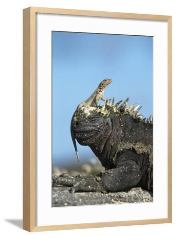 Marine Iguana (Amblyrhynchus Cristatus) on Rock with Lava Lizard Sitting on its Head-Ben Hall-Framed Art Print
