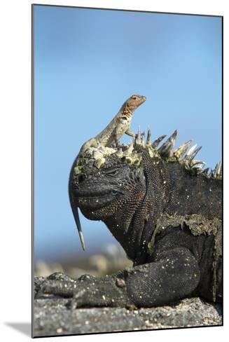Marine Iguana (Amblyrhynchus Cristatus) on Rock with Lava Lizard Sitting on its Head-Ben Hall-Mounted Photographic Print