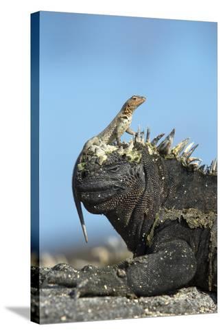 Marine Iguana (Amblyrhynchus Cristatus) on Rock with Lava Lizard Sitting on its Head-Ben Hall-Stretched Canvas Print