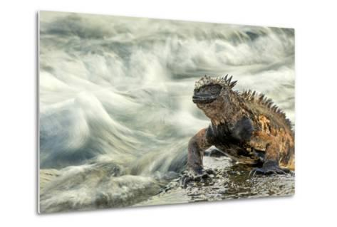 Marine Iguana (Amblyrhynchus Cristatus) on Rock Taken with Slow Shutter Speed to Show Motion-Ben Hall-Metal Print