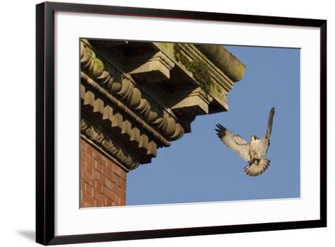 Peregrine Falcon (Falco Peregrinus), Adult Male Landing on Building. Bristol, UK. March-Sam Hobson-Framed Art Print