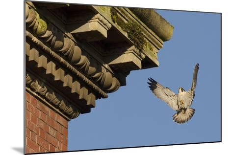 Peregrine Falcon (Falco Peregrinus), Adult Male Landing on Building. Bristol, UK. March-Sam Hobson-Mounted Photographic Print