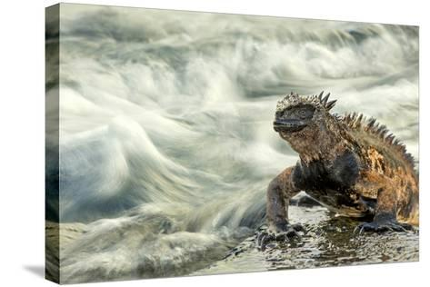 Marine Iguana (Amblyrhynchus Cristatus) on Rock Taken with Slow Shutter Speed to Show Motion-Ben Hall-Stretched Canvas Print