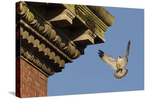 Peregrine Falcon (Falco Peregrinus), Adult Male Landing on Building. Bristol, UK. March-Sam Hobson-Stretched Canvas Print