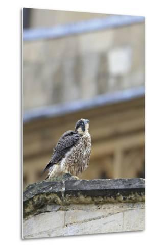 Peregrine (Falco Peregrinus Peregrinus) Chick on Roof, Norwich Cathedral, Norfolk, June 2013-Robin Chittenden-Metal Print