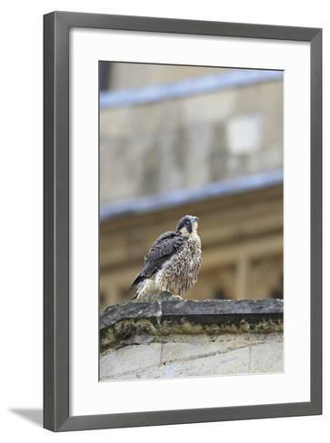 Peregrine (Falco Peregrinus Peregrinus) Chick on Roof, Norwich Cathedral, Norfolk, June 2013-Robin Chittenden-Framed Art Print