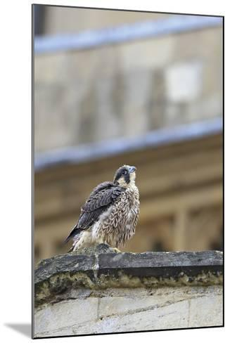 Peregrine (Falco Peregrinus Peregrinus) Chick on Roof, Norwich Cathedral, Norfolk, June 2013-Robin Chittenden-Mounted Photographic Print
