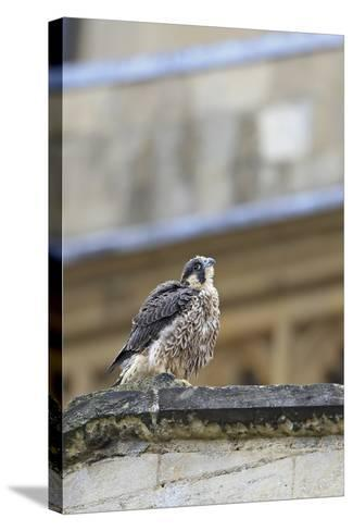 Peregrine (Falco Peregrinus Peregrinus) Chick on Roof, Norwich Cathedral, Norfolk, June 2013-Robin Chittenden-Stretched Canvas Print