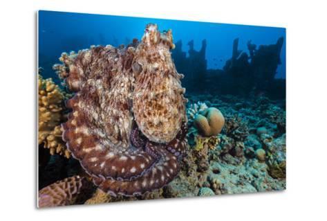 Reef Octopus (Octopus Cyanea) Portrait Near Wreck. Gubal Island, Egypt. Red Sea-Alex Mustard-Metal Print
