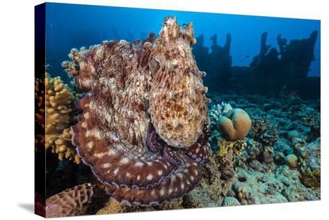 Reef Octopus (Octopus Cyanea) Portrait Near Wreck. Gubal Island, Egypt. Red Sea-Alex Mustard-Stretched Canvas Print