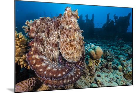 Reef Octopus (Octopus Cyanea) Portrait Near Wreck. Gubal Island, Egypt. Red Sea-Alex Mustard-Mounted Photographic Print