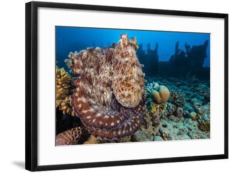 Reef Octopus (Octopus Cyanea) Portrait Near Wreck. Gubal Island, Egypt. Red Sea-Alex Mustard-Framed Art Print