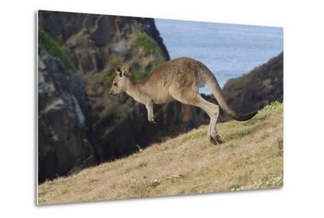Eastern Grey Kangaroo (Macropus Giganteus) Jumping, Queensland, Australia-Jouan Rius-Metal Print