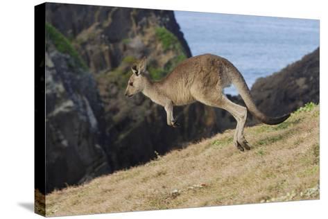 Eastern Grey Kangaroo (Macropus Giganteus) Jumping, Queensland, Australia-Jouan Rius-Stretched Canvas Print