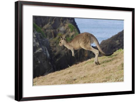 Eastern Grey Kangaroo (Macropus Giganteus) Jumping, Queensland, Australia-Jouan Rius-Framed Art Print