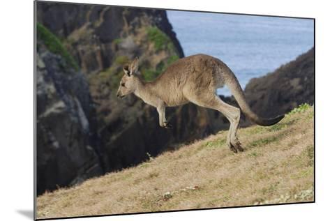 Eastern Grey Kangaroo (Macropus Giganteus) Jumping, Queensland, Australia-Jouan Rius-Mounted Photographic Print