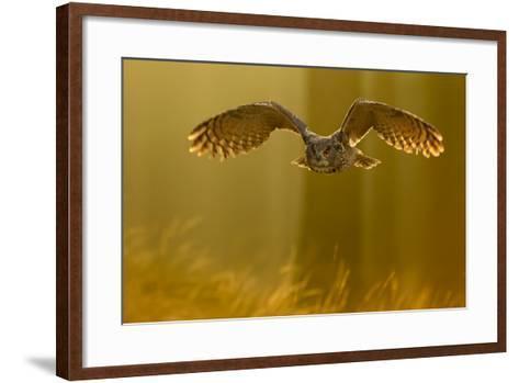 Eagle Owl (Bubo Bubo) in Flight Through Forest, Backlit at Dawn, Czech Republic, November. Captive-Ben Hall-Framed Art Print