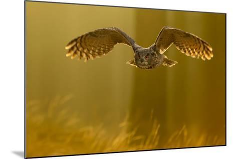 Eagle Owl (Bubo Bubo) in Flight Through Forest, Backlit at Dawn, Czech Republic, November. Captive-Ben Hall-Mounted Photographic Print