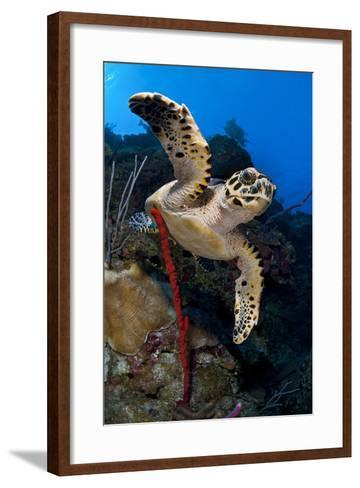 Hawksbill Turtle (Eretmochelys Imbricata) on a Reef Wall with a Rope Sponge-Alex Mustard-Framed Art Print