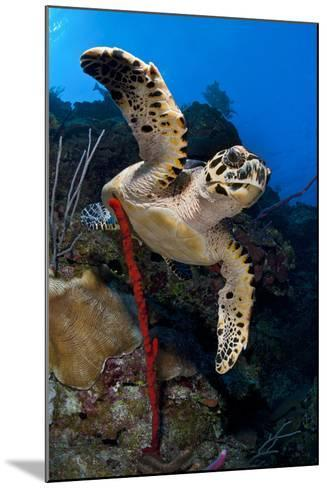 Hawksbill Turtle (Eretmochelys Imbricata) on a Reef Wall with a Rope Sponge-Alex Mustard-Mounted Photographic Print