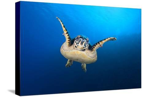 Hawksbill Turtle (Eretmochelys Imbricata) Cruising Along the Drop Off of a Coral Reef-Alex Mustard-Stretched Canvas Print