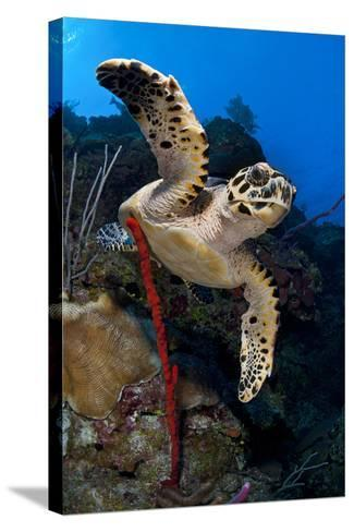 Hawksbill Turtle (Eretmochelys Imbricata) on a Reef Wall with a Rope Sponge-Alex Mustard-Stretched Canvas Print