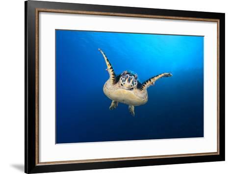 Hawksbill Turtle (Eretmochelys Imbricata) Cruising Along the Drop Off of a Coral Reef-Alex Mustard-Framed Art Print