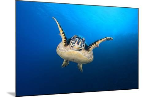 Hawksbill Turtle (Eretmochelys Imbricata) Cruising Along the Drop Off of a Coral Reef-Alex Mustard-Mounted Photographic Print