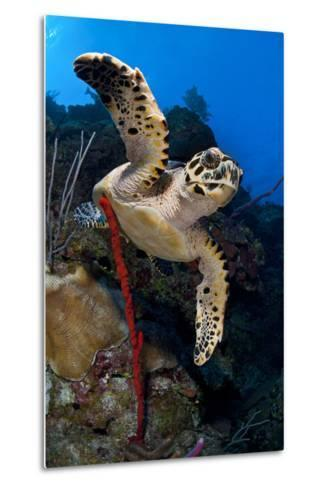 Hawksbill Turtle (Eretmochelys Imbricata) on a Reef Wall with a Rope Sponge-Alex Mustard-Metal Print