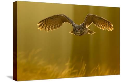 Eagle Owl (Bubo Bubo) in Flight Through Forest, Backlit at Dawn, Czech Republic, November. Captive-Ben Hall-Stretched Canvas Print