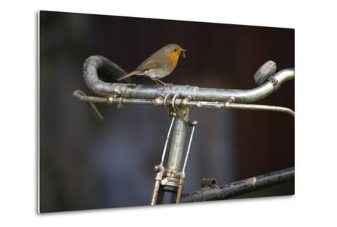 Robin Erithacus Rubecula on Bicycle-Ernie Janes-Metal Print