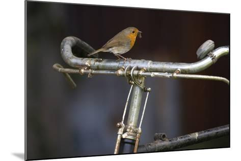 Robin Erithacus Rubecula on Bicycle-Ernie Janes-Mounted Photographic Print