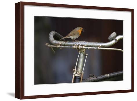 Robin Erithacus Rubecula on Bicycle-Ernie Janes-Framed Art Print