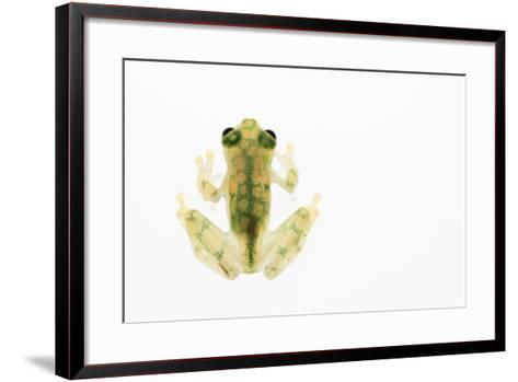 Reticulated Glass Frog (Hyalinobatrachium Valerioi) Captive-Edwin Giesbers-Framed Art Print