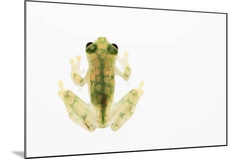 Reticulated Glass Frog (Hyalinobatrachium Valerioi) Captive-Edwin Giesbers-Mounted Photographic Print