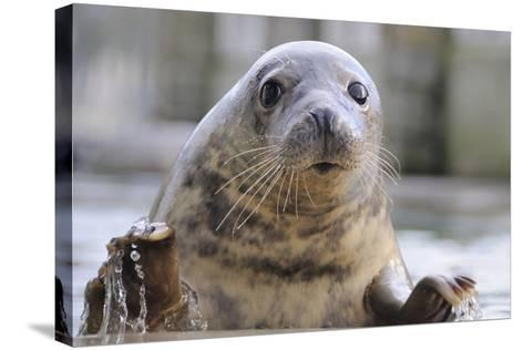 Rescued Grey Seal Pup (Halichoerus Grypus)-Nick Upton-Stretched Canvas Print