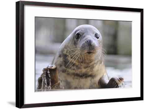 Rescued Grey Seal Pup (Halichoerus Grypus)-Nick Upton-Framed Art Print