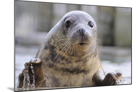 Rescued Grey Seal Pup (Halichoerus Grypus)-Nick Upton-Mounted Photographic Print
